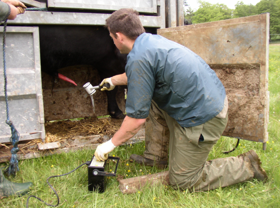 Collecting semen using an electroejaculator